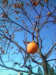 小さな柿の実